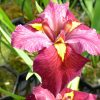 mini-Iris louisiana _Ann Chowning_ (12)