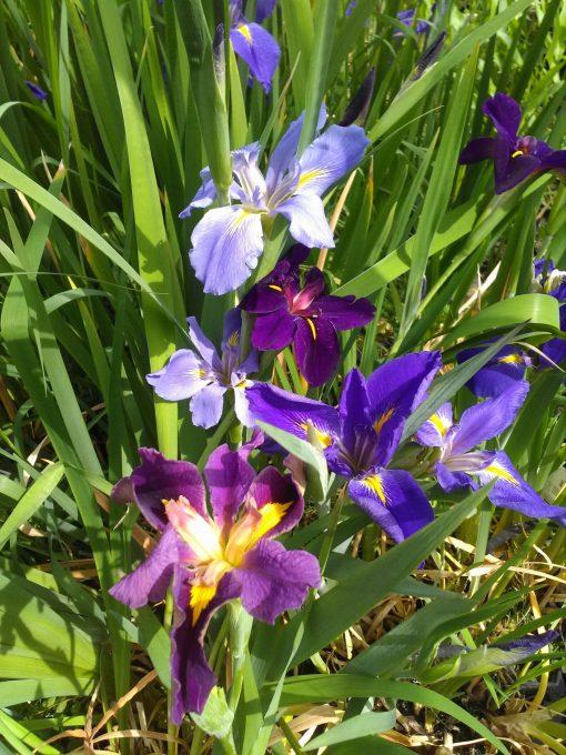 mini-Iris louisiana mixed (3)