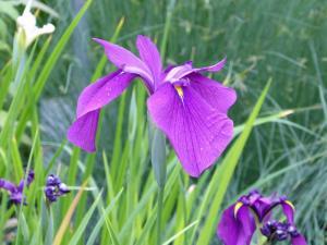 mini-Iris ensata (2)